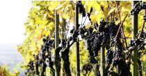 öffentliche Führung «Reben und Wein» / Herbsten