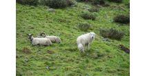 Herdenschutz auf der Alp Zanai