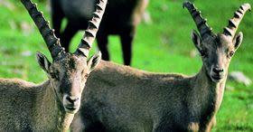 Engadin: Wildbeobachtung im Schweizer Nationalpark